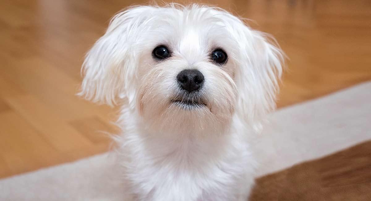 maltes-raza-perro
