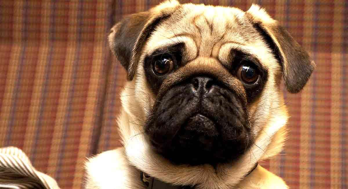 pug-raza-perro
